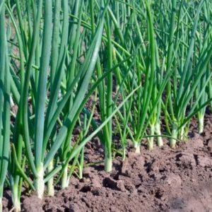 Цибуля на перо: поради по вирощуванню, популярні сорти