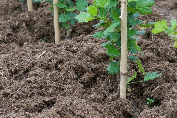 Догляд за агрусом восени: обрізка, полив, добрива.