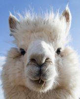 Хто така Альпака і дивовижні властивості вовни альпаки
